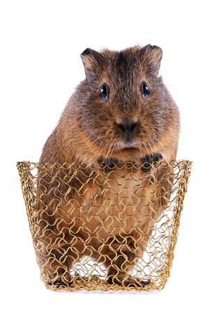 Guinea pig in a gold wattled basket on a white background