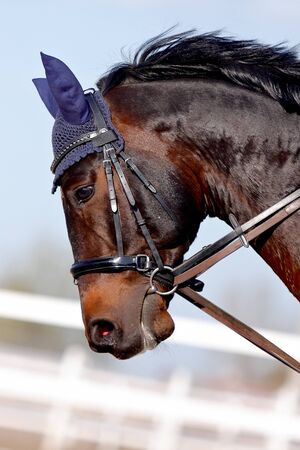 Muzzle of a brown sports horse in a bridle in a sunny day