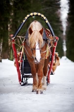 horse sleigh: The horse harnessed in sledge in the winter afternoon
