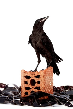 Black bird on a brick fragment in a heap of a film on a white background photo