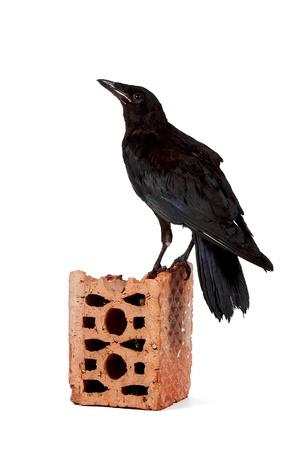 Black bird on a brick fragment on a white background photo