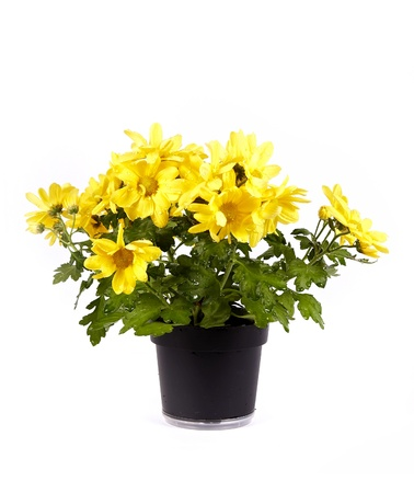 Yellow chrysanthemum in a pot on a white background