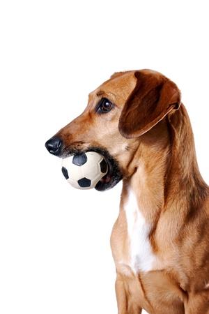 nariz roja: Red Dachshund con una pelota sobre un fondo blanco