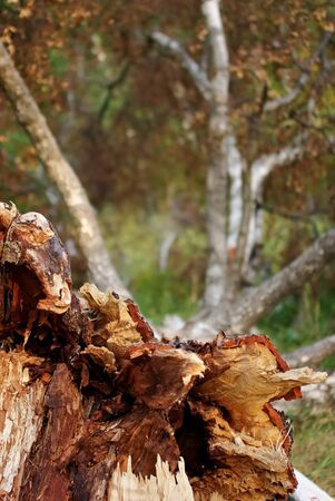 The big fallen tree with thick branches Stock Photo