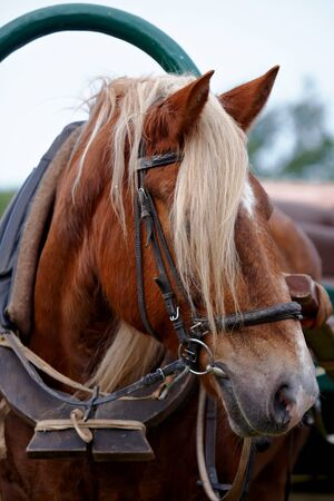 horse collar: Muzzle of the horse harnessed in a cart