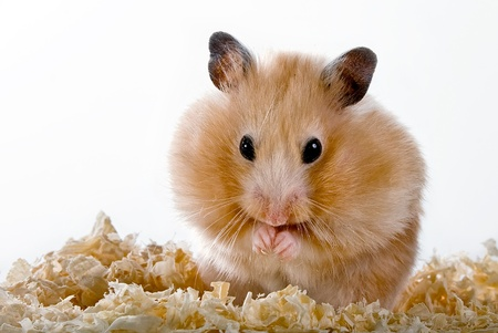 Beige hamster with sawdust on a white background Stock Photo