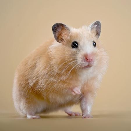 Beige hamster on a beige background