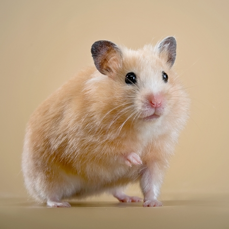 Beige hamster on a beige background