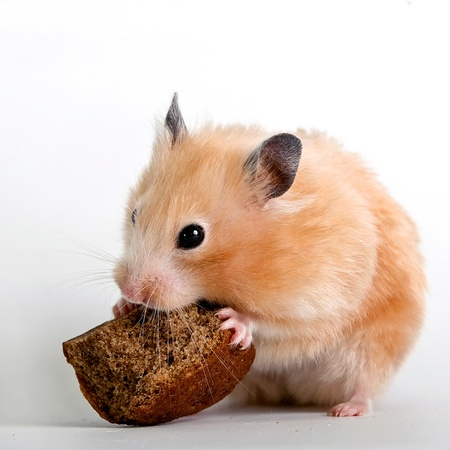 Beige hamster with a bread crust on a white background