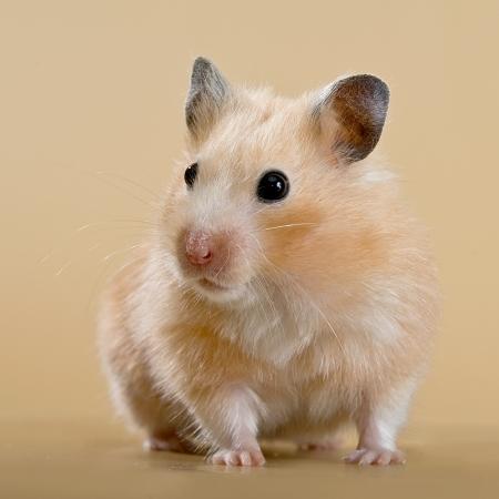 Beige Hamster auf einem beige Hintergrund Standard-Bild - 14432251