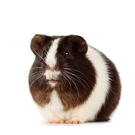 Brown-white curious guinea pigs on a white background