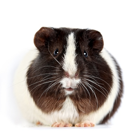 guinea pig: Brown-white curious guinea pigs on a white background