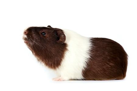 기니: 흰색 배경에 갈색 - 흰색 호기심 기니 피그