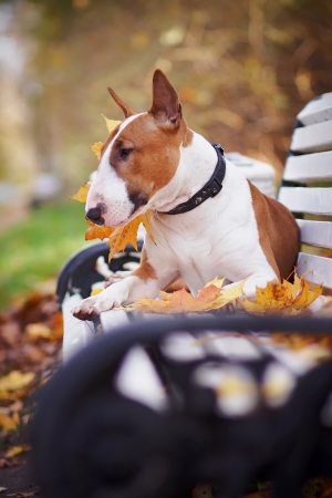 The red bull terrier lies on a bench in the autumn afternoon photo