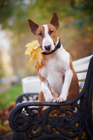 The red bull terrier sits on a bench in the autumn afternoon photo