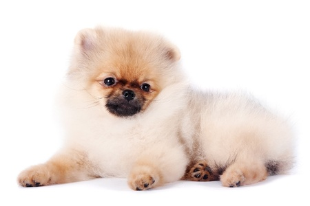 The puppy of a spitz-dog lies on a white background