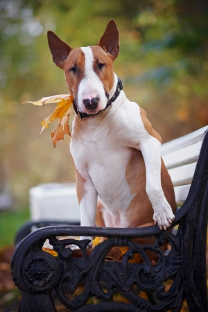 bull terrier: The red bull terrier sits on a bench in the autumn afternoon Stock Photo