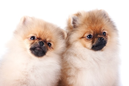Portrait of two puppies of a spitz-dog on a white background Stock Photo