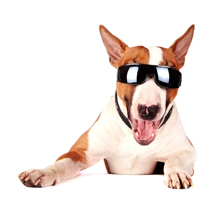 Cheerful bull terrier in sunglasses on a white background Stock Photo
