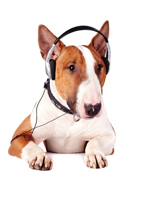 Bull terrier in earphones on a white background photo