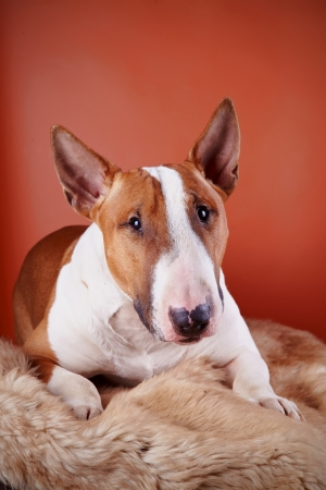 Portrait of a bull terrier on a red background Stock Photo