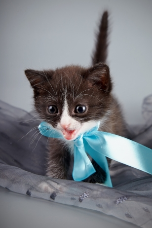 Small kitten with a blue bow on a gray background photo