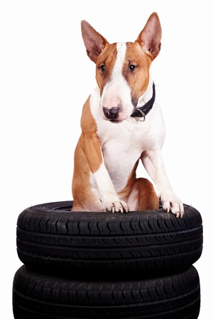 Bull terrier and wheels on a white background photo