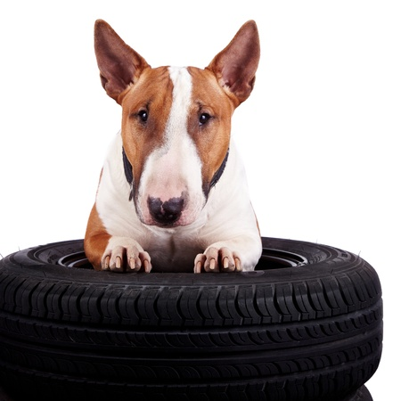 pet services: Bull terrier and wheels on a white background Stock Photo