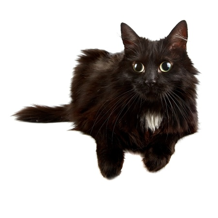 Schwarze Katze auf einem weißen Hintergrund Standard-Bild - 16712014