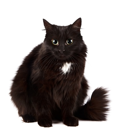 The black cat sits on a white background Stock Photo - 16977411