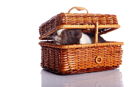 Guinea pig in a wattled basket on a white background photo