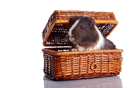 Guinea pig in a wattled basket on a white background Stock Photo - 17152692