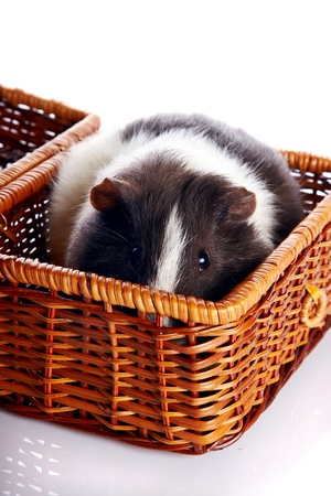 Guinea pig in a wattled basket on a white background Stock Photo - 17152718