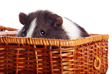 The guinea pig looks out from a wattled basket on a white background photo