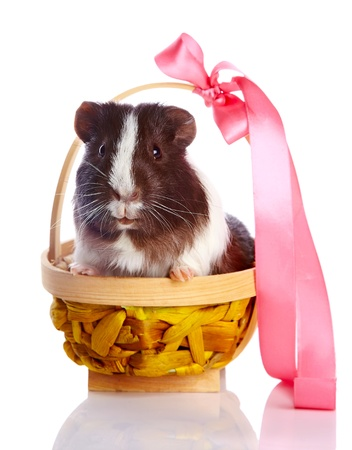 Guinea pig in a basket with a tape on a white background Stock Photo - 17152691