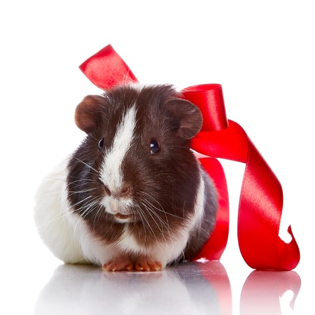 Guinea pig with a tape and a sphere on a white background Stock Photo - 17189722