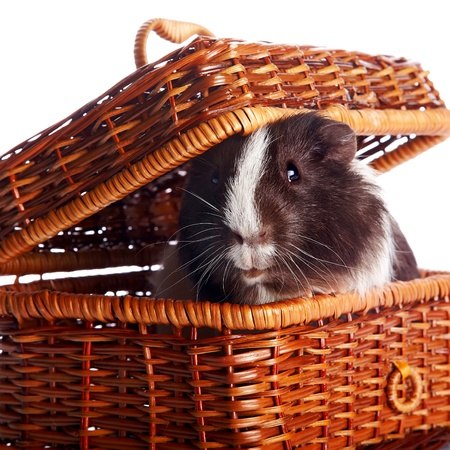 Guinea pig in a wattled basket on a white background Stock Photo - 17234884