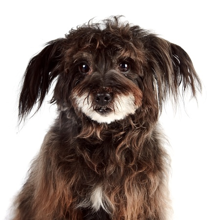Portrait of a small shaggy mongrel on a white background