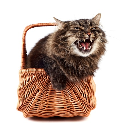 mewing: Mewing a fluffy cat in a wattled basket on a white background Stock Photo