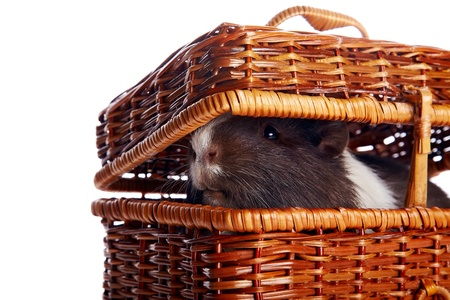 Guinea pig in a wattled basket on a white background Stock Photo - 17382051
