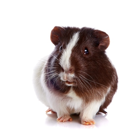 Guinea pig on a white background photo