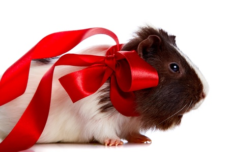 Guinea pig with a tape and a sphere on a white background Stock Photo - 17382048