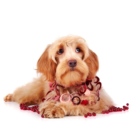 Decorative dog  Puppy of the Petersburg orchid on a white background Stock Photo - 17478362