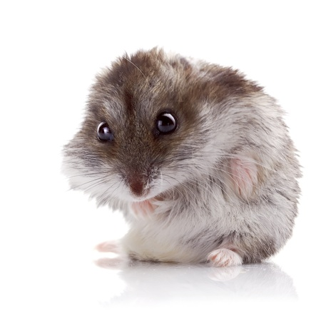 ridiculous: Gray hamster on a white background