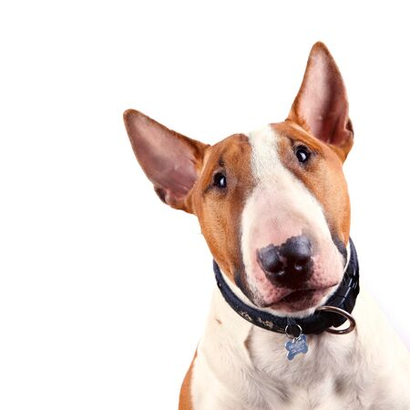 head protection: Portrait of a bull terrier on a white background