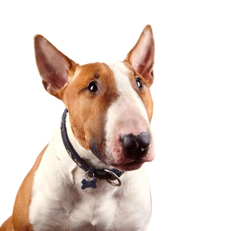 Portrait of a red bull terrier on a white background