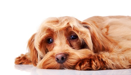 head protection: Small doggie. Decorative thoroughbred dog. Puppy of the Petersburg orchid. Stock Photo