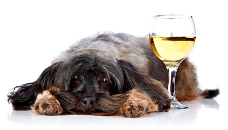 Dog with a wine glass. Small doggie. Decorative thoroughbred dog. Puppy of the Petersburg orchid. Shaggy doggie. Stock Photo