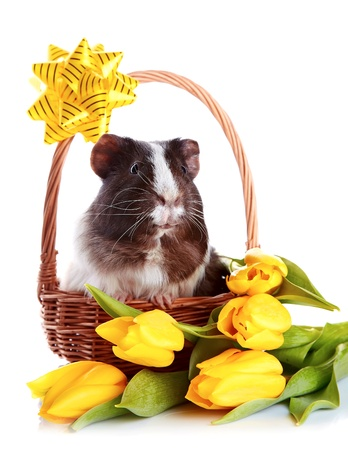 Guinea pig in a basket. Guinea pig with tulips. Guinea pig and flowers. Small pet. Live gift. photo