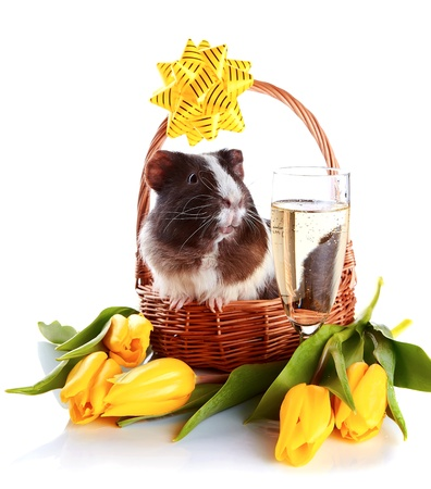 Guinea pig in a basket. Guinea pig with tulips. Guinea pig and flowers. Small pet. Live gift on a holiday. Live gift and champagne. Guinea pig with a glass. photo